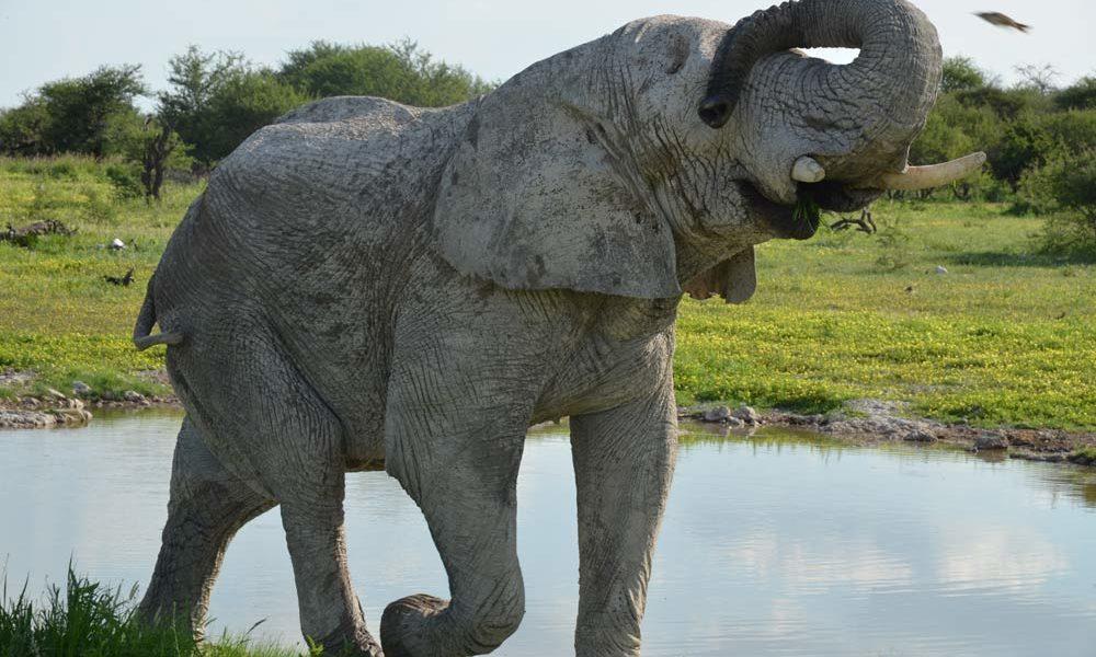 Suedafrika-Elefant