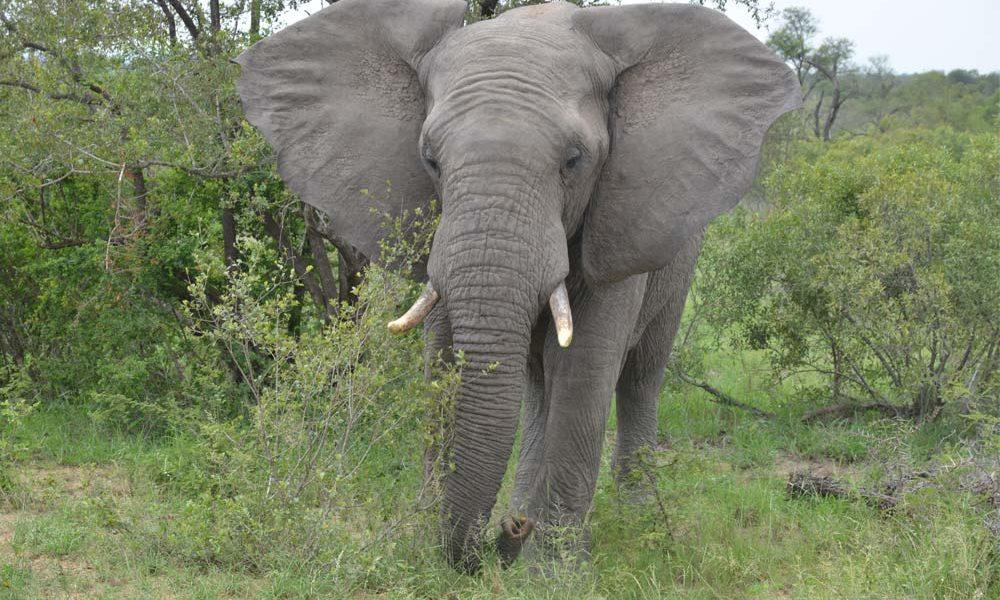 Suedafrika-Elefant-Frontal