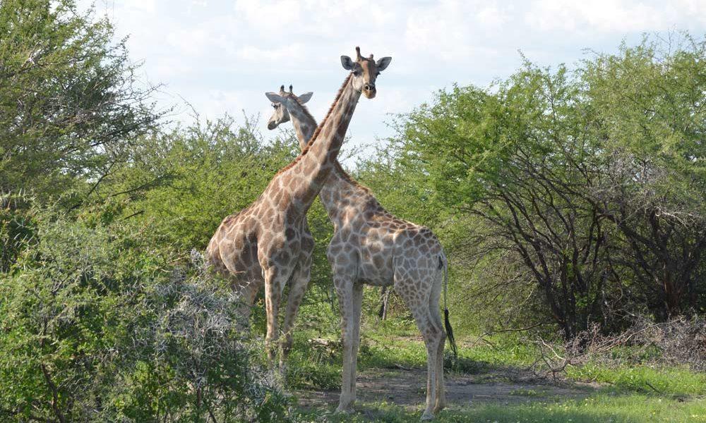 Suedafrika-Giraffenduell