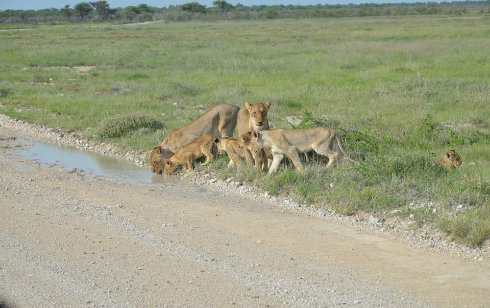 Suedafrika-Loewenfamilie