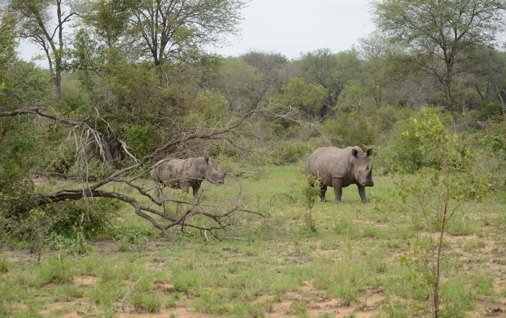 Suedafrika-Nashoerner