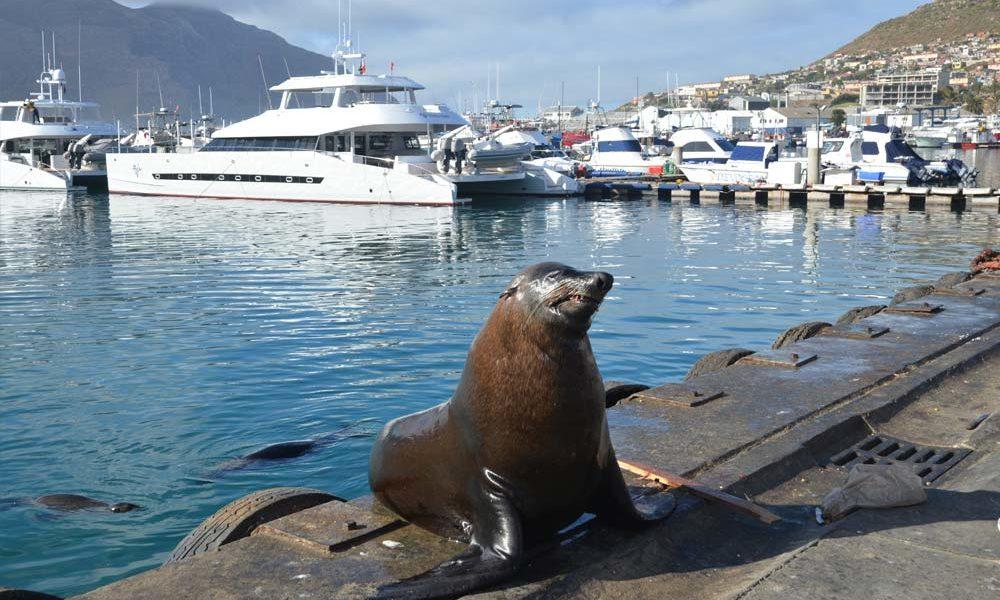 Suedafrika-Seehund